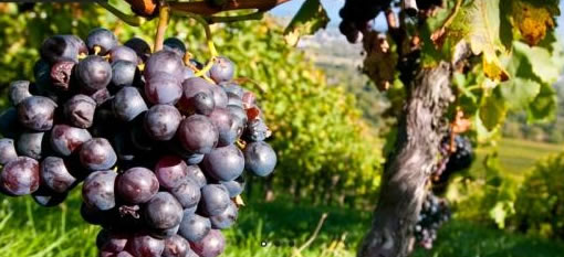 Grappolo di uva rossa