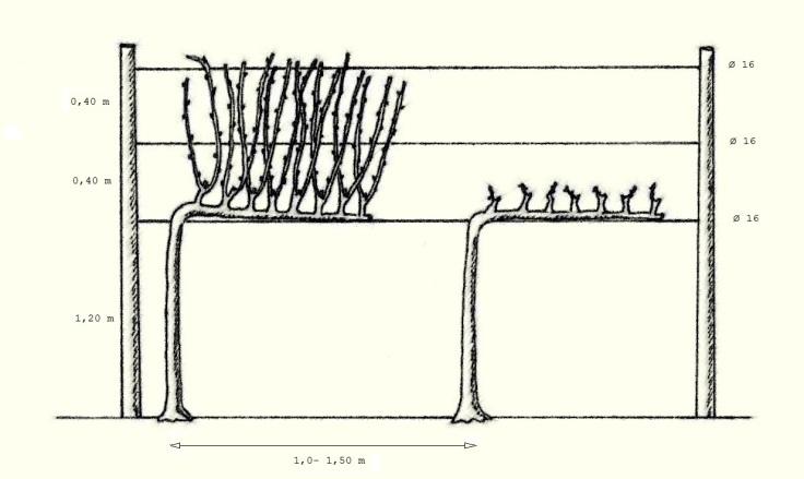 Esempio di potatura corta, il cordone speronato.