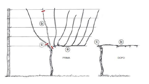 Esempio di potatura lunga, il guyot